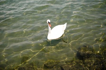 balaton: White swan on Balaton lake in clear water