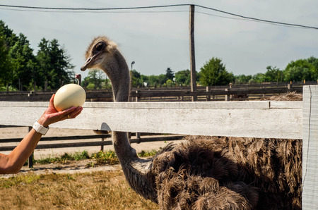curiousness: Ostrich looking at the ostrich eggs at the ostrich farm Stock Photo