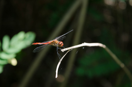 dropwing: A red dragonfly at rest Sympetrum vulgatum