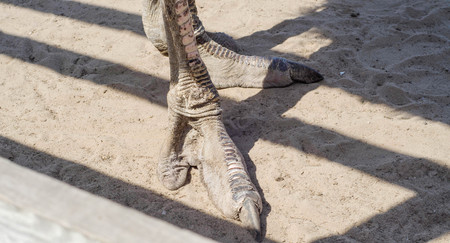 curiousness: Foot of ostrich standing on a sand