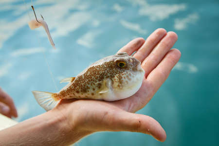 siam: Fugu fish caught while fishing in Siam Bay Stock Photo