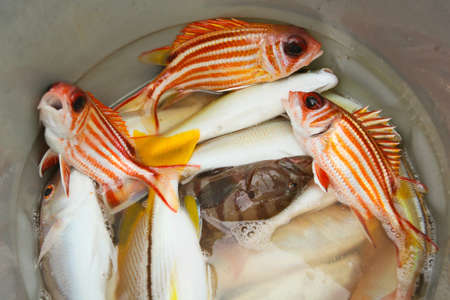 lanceolatus: Fresh catch - red snappers