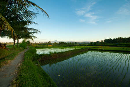 Rice terraces at sunrises in Ubud on Bali island, Indonesia  Stock Photo - 13110943