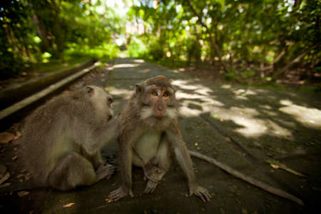 Two wild monkey in forest on Bali island photo