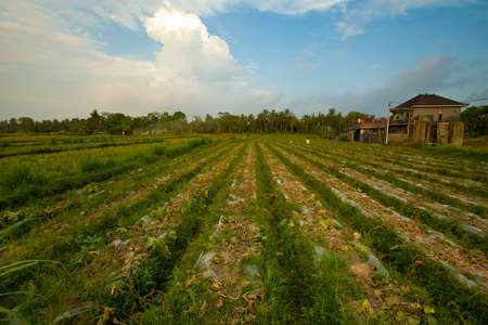 Farm in Ubud surroundings, Bali island, Indonesia  photo