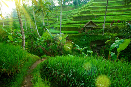 Tropical valley with amazing balinese rice terraces and trees, Indonesia  photo