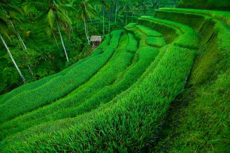 Terrace rice fields, Bali, Indonesia photo