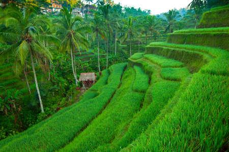 Terrace rice fields on Bali island, Indonesia. photo