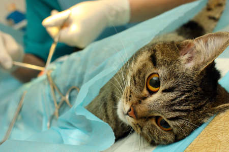 sterilization: Surgical sterilization of cat in banian hospital Stock Photo