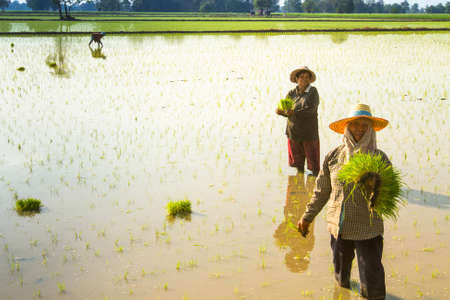 exporter: PAI, NORTHERN THAILAND, DECEMBER 29: Local people plant a rice in Pai, Northern Thailand on December 29, 2012. Thailand is the worlds 2nd largest exporter of rice. Editorial