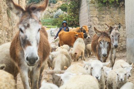 actividad econ�mica: ISLA DEL SOL, BOLIVIA - 21 de enero: Pastor aymara no identificada en su pueblo, 21 de enero de 2011, sobre la Isla del Sol, Bolivia. Actividad econ�mica principal de 800 familias en la isla es la agricultura, la pesca y el turismo.