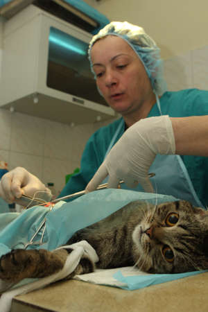 banian: TOMSK, RUSSIA - NOV 25, 2009: Veterinarians office, during surgical operation of cat.