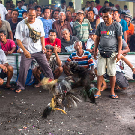 aspects: UBUD, INDONESIA - FEB 22, 2016: Locals during traditional cockfighting. Cockfighting is a very old tradition in Bali and religious aspects of cockfighting within Balinese Hinduism remain protected.