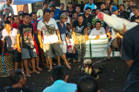 cockfighting: UBUD, INDONESIA - FEB 23, 2016: Locals during traditional cockfighting. Cockfighting is a very old tradition in Bali and religious aspects of cockfighting within Balinese Hinduism remain protected.