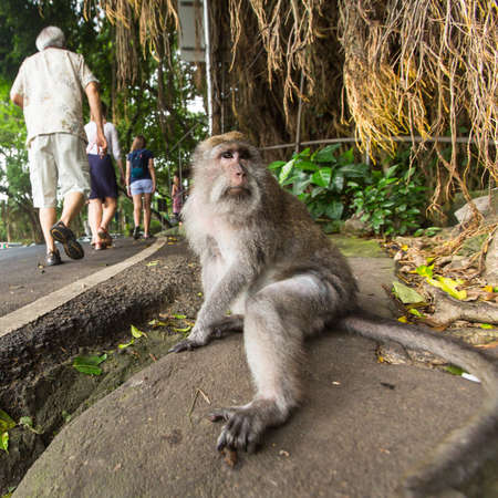 tourism industry: UBUD, INDONESIA - FEB 25, 2016: Monkey on the street in Ubud centre - city is one of Balis major arts and culture centres, it has developed a large tourism industry, has of about 30,000 population.
