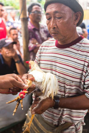 natural cock: UBUD, BALI  INDONESIA - FEB 22, 2016: Local people during traditional cockfighting competition. Before the competition on natural cock spurs put on an artificial metal with a length of about 4 cm. Editorial