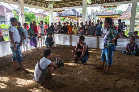 cockfighting: UBUD, INDONESIA - FEB 26, 2016: Locals during traditional cockfighting. Cockfighting is a very old tradition in Bali and religious aspects of cockfighting within Balinese Hinduism remain protected.