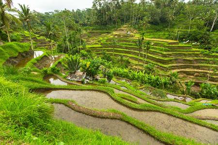 Green rice terraces in Ubud, Bali island, Indonesia.