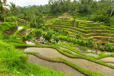 tegalalang: Green rice terraces in Ubud, Bali island, Indonesia.