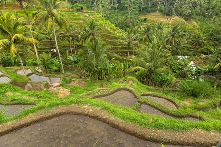 tegalalang: Green Rice Terrace in Bali island, Indonesia.