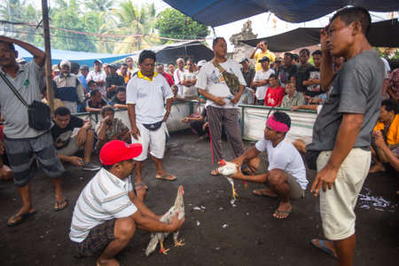 cockfighting: BALI, INDONESIA - FEB 22, 2016: Locals during traditional cockfighting. Cockfighting is a very old tradition in Bali and religious aspects of cockfighting within Balinese Hinduism remain protected.