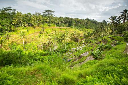 tegalalang: Green rice terraces on Bali island, Indonesia.
