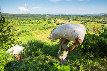 BALI, INDONESIA - MAR 4, 2016: Unidentified farmers bear bags from field with grass. Indonesias economy refers to agrarian-industrial type. Level of national competitiveness was ranked 44th in the world.