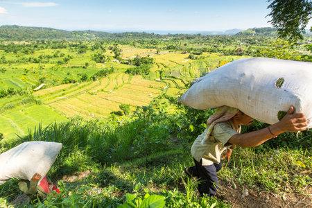 competitividad: Bali, Indonesia - 4 de MAR, 2016: los agricultores no identificados llevan bolsas de campo con hierba. la economía de Indonesia se refiere al tipo agrario-industrial. Nivel de competitividad nacional se clasificó 44º en el mundo.