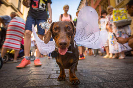 cracow: KRAKOW, POLAND - FEB 11, 2016: Dog party in the annual 22nd Dachshund Parade (Marsz Jamnikow) on the Main Market Square. Parade costumed sausage dogs through Cracow has hosted every autumn since 1994.