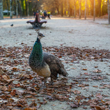 Peacock in autumn Park. Porto, Portugal. Stock Photo
