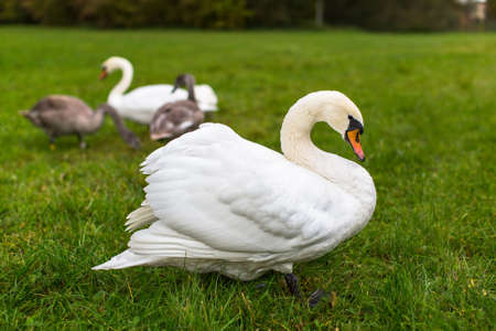 Flock of swans grazing on the lawn.
