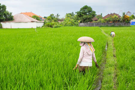 Balinese farmers working in a green rice field.