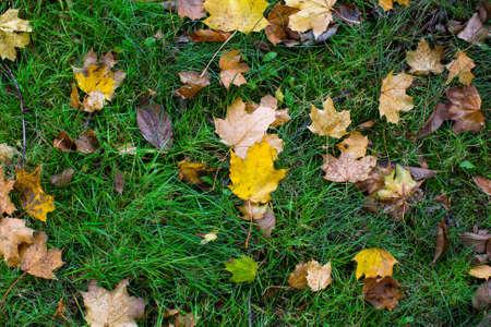 Fallen yellow leaves on green grass, autumn texture. Stock Photo