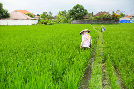 ubud: Farmers cultivate rice on a green field. Stock Photo
