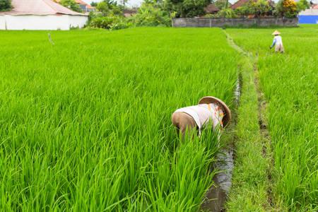 Indonesian farmers working on green rice field.