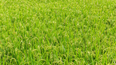 Panorama of green rice fields. Stock Photo