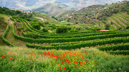Vineyards are on a hills, Douro Valley, Portugal. 版權商用圖片