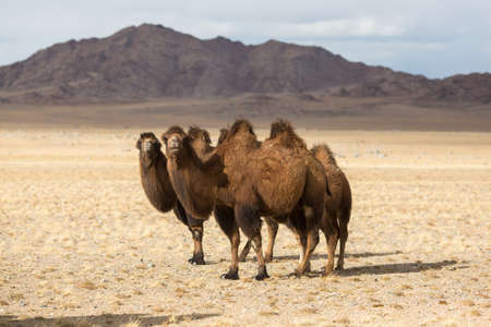 モンゴル西部の砂漠でラクダ。