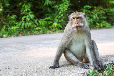 Wild monkey sitting on a road. Stock Photo