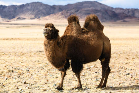 Steppe camel in the foothills of Western Mongolia. 免版税图像