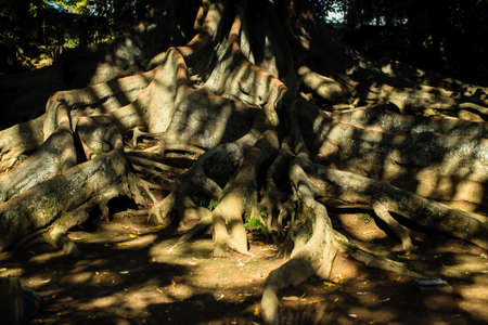 Roots of a giant tree. Landscape of San Miguel island - Azores, Portugal. Stock Photo