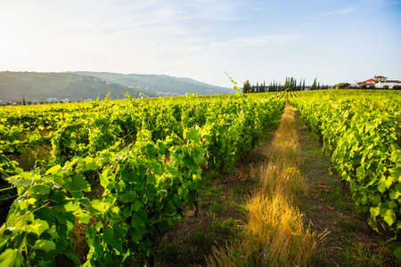 Green vineyard in the Douro Valley of Portugal.
