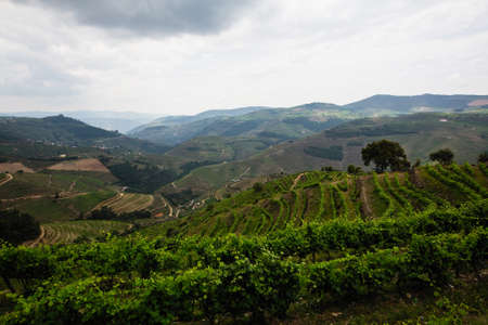 Vineyards in the hills of Douro valley, Porto, Portugal.