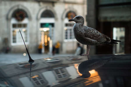 Seagull sits on the roof of a car against the backdrop of old city. Reklamní fotografie