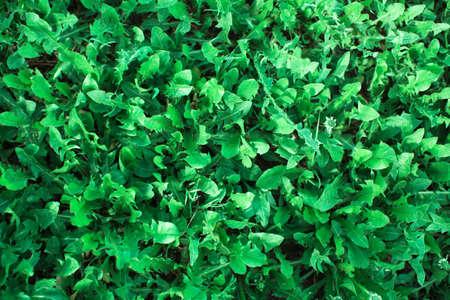 Greenery texture of the Green grass close-up. 版權商用圖片