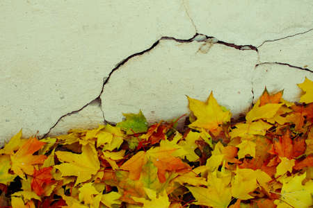 Yellow leaves of the maples had fallen near the stucco old wall. 版權商用圖片