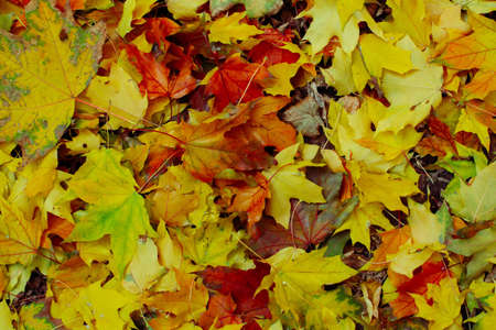 Red and yellow leaves of the maples had fallen to ground. 版權商用圖片