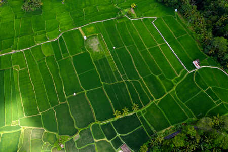 Tegalalang rice terraces with palm trees from drone. Bali, Indonesia. Aerial photo of landscape. Foto de archivo