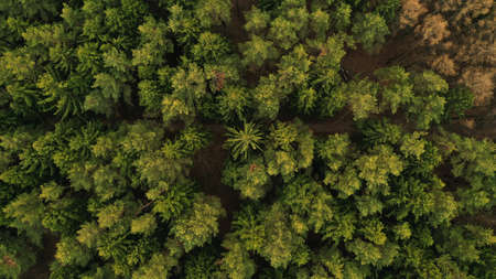 Aerial top view of spring green trees in forest background, Russia. Drone photography. Coniferous and deciduous trees. Beautiful panoramic photo over the tops of pine forest. 写真素材