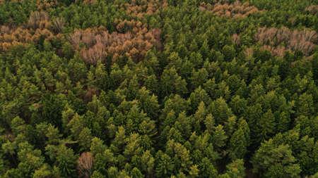Widok z góry z lotu ptaka wiosennych zielonych drzew w tle lasu, Rosja. Fotografia drona. Drzewa iglaste i liściaste. Piękne zdjęcie panoramiczne nad szczytami sosnowego lasu.